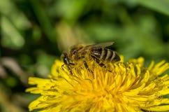 Pszczoła, kąpać się w pierwszy promieniach słońce Obraz Stock