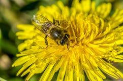 Pszczoła, kąpać się w pierwszy promieniach słońce Zdjęcia Royalty Free