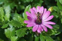 Pszczoła kwiatu menchii purpur gerbera obrazy stock