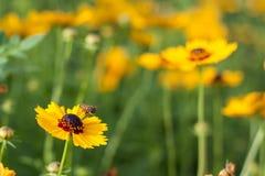 Latająca pszczoła z kwiatem Zdjęcie Stock