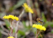 Pszczoła lata up Obrazy Royalty Free