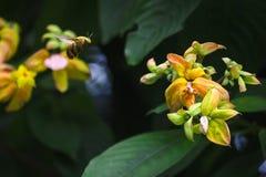 Pszczoła lata z żółtymi kwiatami obrazy royalty free