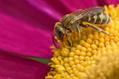 pszczoła mała Obrazy Royalty Free
