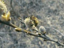 pszczoła mała Zdjęcia Royalty Free