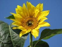 pszczoła mamrocze bliżej słonecznika Zdjęcie Royalty Free