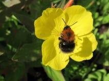 pszczoła mamrocze kwiatu kolor żółty zdjęcie stock