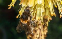 pszczoła mamrocze kwiatu kolor żółty Zdjęcia Stock