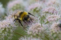pszczoła mamrocze pracę fotografia royalty free