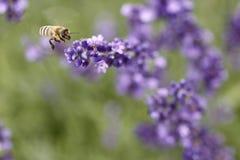 pszczoła miód zdjęcie royalty free