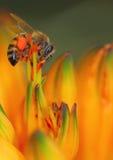 pszczoła miód obraz stock