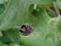 Pszczoła mocno przy pracą Zdjęcia Royalty Free