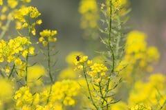 Pszczoła Na Żółtym Dzikim Kwiacie obrazy royalty free