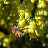 Pszczoła na żółtych kwiatach Obraz Stock