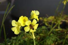 Pszczoła na żółtych kwiatach Fotografia Stock