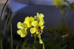 Pszczoła na żółtych kwiatach Zdjęcia Stock