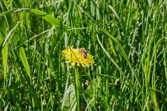 Pszczoła na żółtym dandelion Obrazy Stock