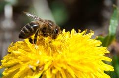 Pszczoła na żółtym dandelion zbiera miód obrazy royalty free