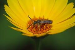 Pszczoła na żółtym kwiacie Fotografia Stock