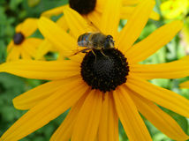 Pszczoła na żółtym kwiacie Obraz Stock