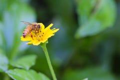Pszczoła na żółtym kwiacie Zdjęcia Stock