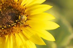Pszczoła na żółtym kwiacie przy zmierzchem Obrazy Royalty Free