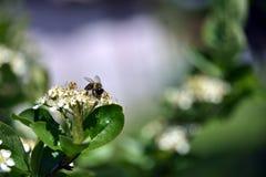 Pszczoła na aronia kwiacie fotografia royalty free