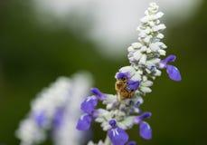 Pszczoła na Błękitnej czapeczce Obrazy Royalty Free