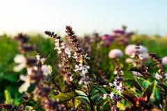 Pszczoła na basila kwiacie Kwiat basil, wielki basil obrazy royalty free