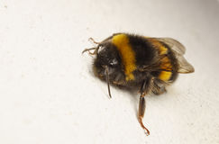 Pszczoła na białej ścianie Fotografia Royalty Free