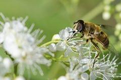 Pszczoła na białych kwiatach Zdjęcia Royalty Free