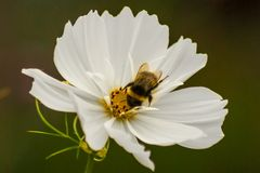 Pszczoła na białym kwiacie Obraz Royalty Free