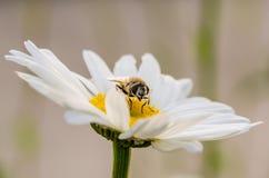 Pszczoła na białym kwiacie obraz stock