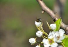 Pszczoła na brzoskwini drzewie obraz stock