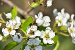 Pszczoła na brzoskwini drzewie fotografia stock
