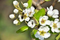 Pszczoła na brzoskwini drzewie obraz royalty free