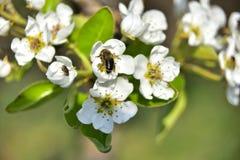 Pszczoła na brzoskwini drzewie fotografia royalty free