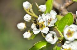 Pszczoła na brzoskwini drzewie obrazy stock