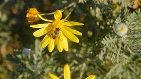 Pszczoła na chamomile zdjęcie wideo