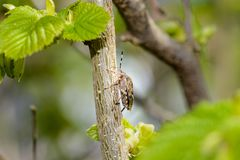 Pszczoła na cornus mas zdjęcie stock
