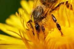 Pszczoła na dandelion lub Taraxacum officinale makro- zdjęcie stock