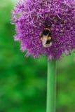 Pszczoła na fiołkowym kwiacie obraz royalty free