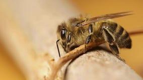 Pszczoła na gałąź zbiory wideo