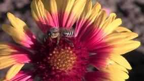 Pszczoła na galardia kwiacie zbiory wideo