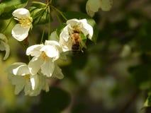 Pszczoła na Jabłczanej gałąź fotografia royalty free