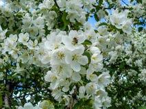 Pszczoła na jabłczanym kwiacie Gałąź kwitnąć drzewa obrazy royalty free