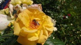 Pszczoła Na kolor żółty róży zdjęcia stock