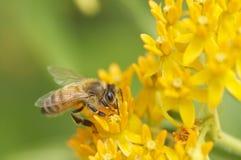 Pszczoła na kolorze żółtym Obraz Stock