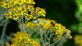 Pszczoła na kolorze żółtym kwitnie w naturze zbiory wideo