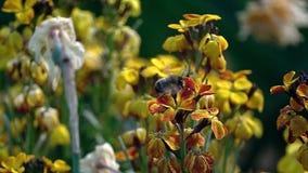 Pszczoła na kwiacie zbiory