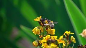 Pszczoła na kwiacie zbiory wideo